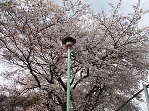 20080329sakura2